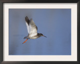 Common Redshank Adult in Flight, Lake Neusiedl, Austria Art by Rolf Nussbaumer