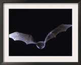 Schreiber's Long Fingered Bat Flying from Cave, France Print by Inaki Relanzon