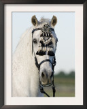 Grey Half Andalusian Gelding with Traditional Fly Switch on Bridle, Longmont, Colorado, USA Prints by Carol Walker