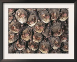 Close Up of Colony of Schreiber's Long Fingered Bat Roosting in Cave, France Prints by Inaki Relanzon