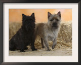 Two Cairn Terriers of Different Coat Colours Prints by Petra Wegner