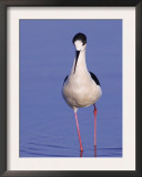 Black-Winged Stilt Adult Wading, Lake Neusiedl, Austria Prints by Rolf Nussbaumer
