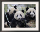 Three Subadult Giant Pandas Feeding on Bamboo, Wolong Nature Reserve, China Posters by Eric Baccega