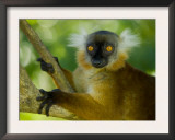 Black Lemur Female, Nosy Komba, North Madagascar, Iucn Vulnerable Prints by Inaki Relanzon