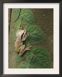 Masked Treefrog on Leaves of Climbing Plant, Carara Biological Reserve, Costa Rica Print by Rolf Nussbaumer