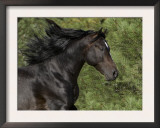 Black Connemara Stallion Running in Field Elizabeth, Colorado, USA Art by Carol Walker
