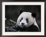 Male Giant Panda Wolong Nature Reserve, China Art by Eric Baccega