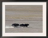 Herd of Wild Yaks Running across the Chang Tang Nature Reserve of Central Tibet., December 2006 Posters by George Chan