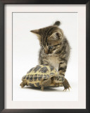 Silver Tabby Kitten Looking at a Hermann's Tortoise Walking Prints by Jane Burton