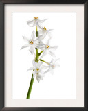 Wild Narcissus in Flower, Spain Prints by Niall Benvie