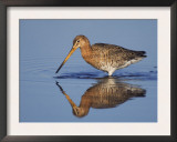 Black-Tailed Godwit Adult in Breeding Plumage Feeding, Lake Neusiedl, Austria Art by Rolf Nussbaumer
