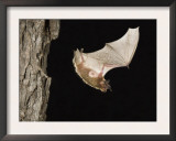 Evening Bat Flying at Night from Nest Hole in Tree, Rio Grande Valley, Texas, USA Poster by Rolf Nussbaumer