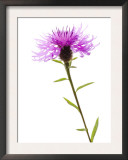 Greater Knapweed Scotland, UK Prints by Niall Benvie