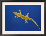 Indo-Pacific Gecko Adult on Glass Showing Underside, Costa Rica Posters by Rolf Nussbaumer