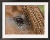 Close Up of Eye of Chestnut Peruvian Paso Stallion, Sante Fe, New Mexico, USA Posters by Carol Walker