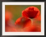 Common Poppy Flower, Cornwall, UK Prints by Ross Hoddinott