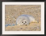 Grey Seal Pup on Beach Lying Beside Plastic Twine, Blakeney Point, Norfolk, UK, December Prints by Gary Smith