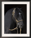 Black Peruvian Paso Stallion in Traditional Peruvian Bridle, Sante Fe, New Mexico, USA Prints by Carol Walker