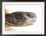 Greek Spur Thighed Tortoise Head Portrait, Spain Print by Niall Benvie