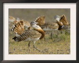 Geat Bustard Flock, Extremadura, South Spain Poster by Inaki Relanzon
