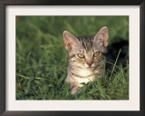 European Grey Tabby Cat in Grass, Italy Print by Adriano Bacchella