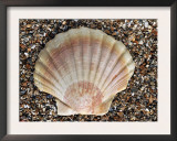 Scallop Shell on Beach, Normandy, France Posters by Philippe Clement