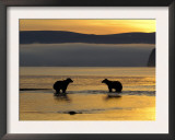 Brown Bears in Water at Sunrise, Kronotsky Nature Reserve, Kamchatka, Far East Russia Prints by Igor Shpilenok