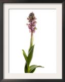 Giant Orchid in Flower Spain Prints by Niall Benvie