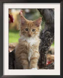 Maine Coon Red Tabby Cat Kitten, Three-Months Prints by Adriano Bacchella