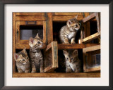 Four Bengal Kittens Playing in Wooden Boxes Poster by Adriano Bacchella