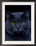 American Shorthair Cat, Portrait Prints by Adriano Bacchella