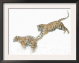 Two Siberian Tigers Leaping in Snow Prints by Edwin Giesbers