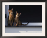 Two Somali Cats Sitting on Window Ledge, Italy Posters by Adriano Bacchella