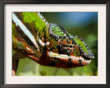 Panther Chameleon Showing Colour Change, Sambava, North-East Madagascar Posters by Inaki Relanzon