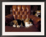 Black, White and Cream Mackerel Tabby Persian Cat Resting in Armchair Prints by Adriano Bacchella