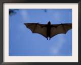 Madagascar Flying Fox Fruit Bat in Flight, Berenty Private Reserve, South Madagascar Art by Inaki Relanzon