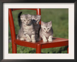 Three European Silver Tabby Kittens Sitting on Red Chair, Italy Prints by Adriano Bacchella