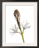 Asphodel Flowers Spain Posters by Niall Benvie