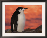 Chinstrap Penguin at Sunset, Antarctica Print by Edwin Giesbers