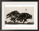 White Storks Coming in to Roost in Trees at Dusk, Near Seville, Spain, February 2008 Prints by Niall Benvie