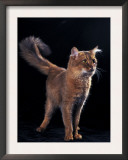 Somali Cat, Standing Portrait Poster by Adriano Bacchella