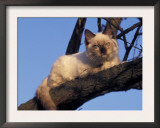 Ragdoll Cat Resting in Tree, Italy Art by Adriano Bacchella
