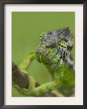 Oustalet's Chameleon on Branch, Madagascar Posters by Edwin Giesbers