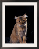 Somali Cat, Sitting Portrait Prints by Adriano Bacchella