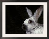 Silver of Champagne Domestic Rabbit Art by Adriano Bacchella