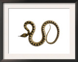 Juvenile Ladder Snake Alicante, Spain Prints by Niall Benvie