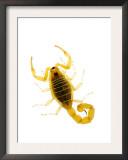 European Scorpion Spain Print by Niall Benvie