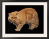 Exotic Red Cat, Portrait Prints by Adriano Bacchella