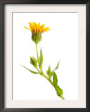Wild Marigold Flower, Spain Prints by Niall Benvie
