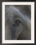 Indian Elephant Close Up of Eye, Controlled Conditions, Bandhavgarh Np, Madhya Pradesh, India Art by T.j. Rich